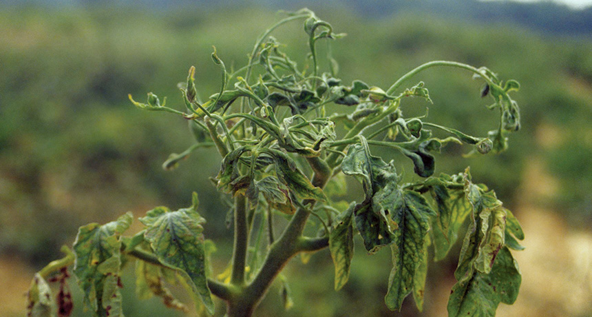 infected tomato plant