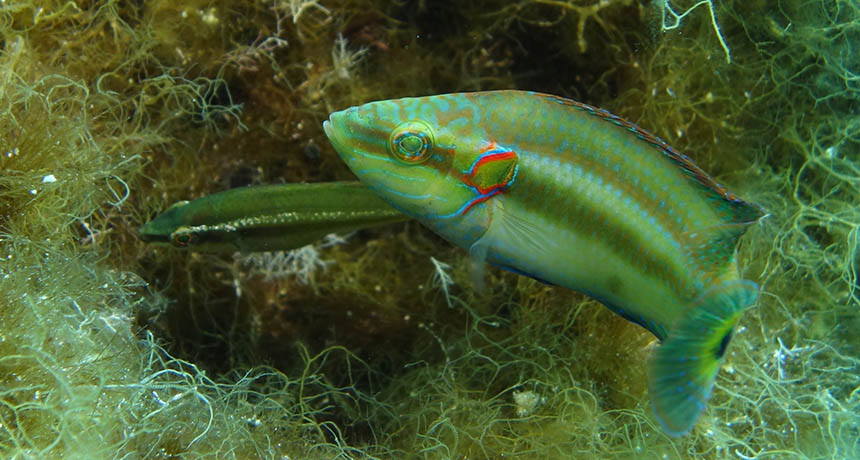 oscillated wrasse