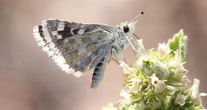 Pyrgus scriptura butterfly