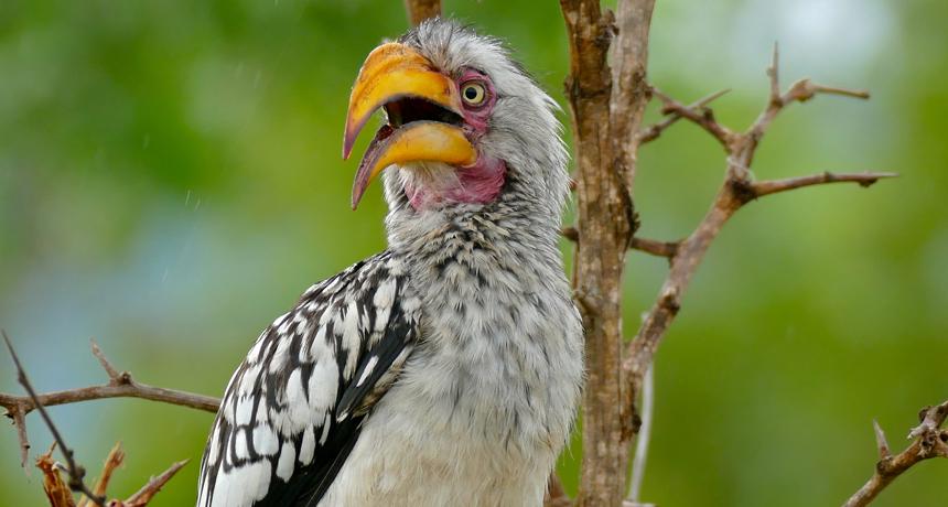 birdsouthern yellow-billed hornbill