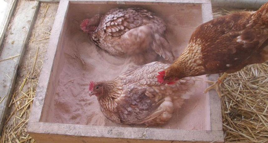 hen taking a dust bath