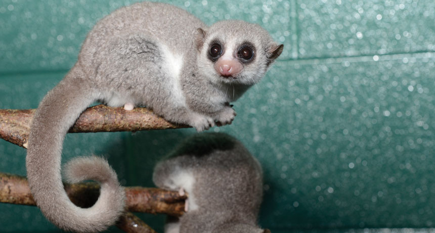 fat-tailed dwarf lemurs