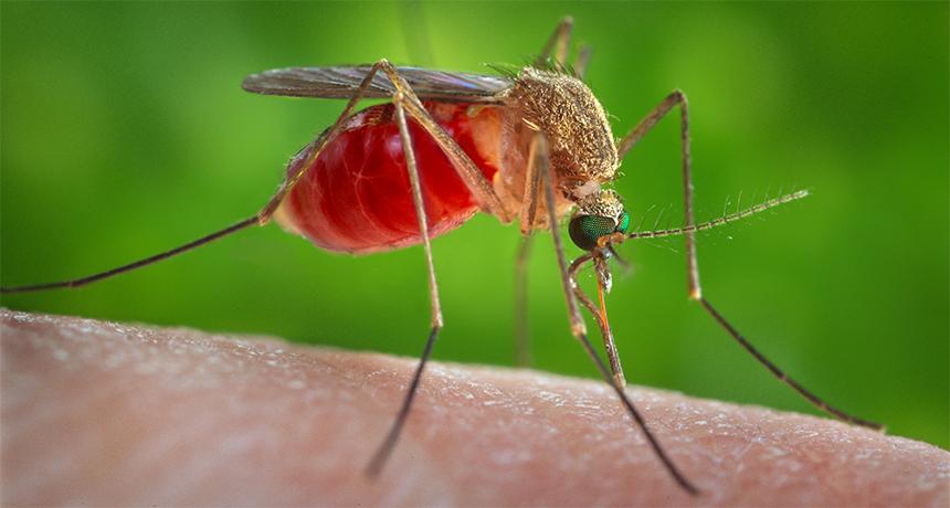 Culex mosquito