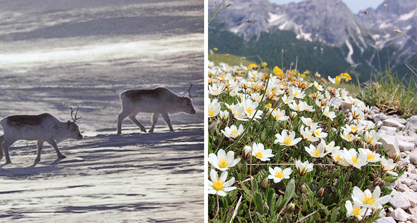 Left: Peary caribou; Right: mountain avens flowers