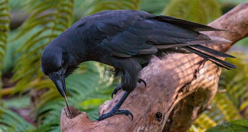 Hawaiian crow using stick to get treat
