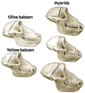 Baboon skulls
