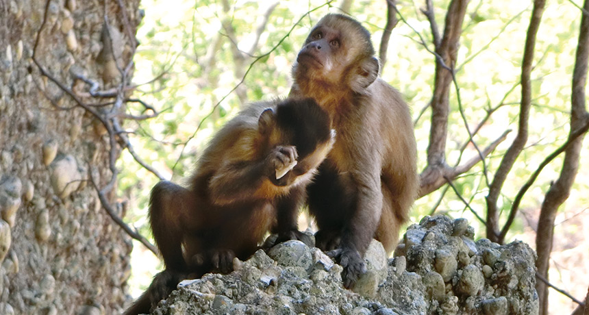 Wild monkeys throw curve at stone-tool making's origins