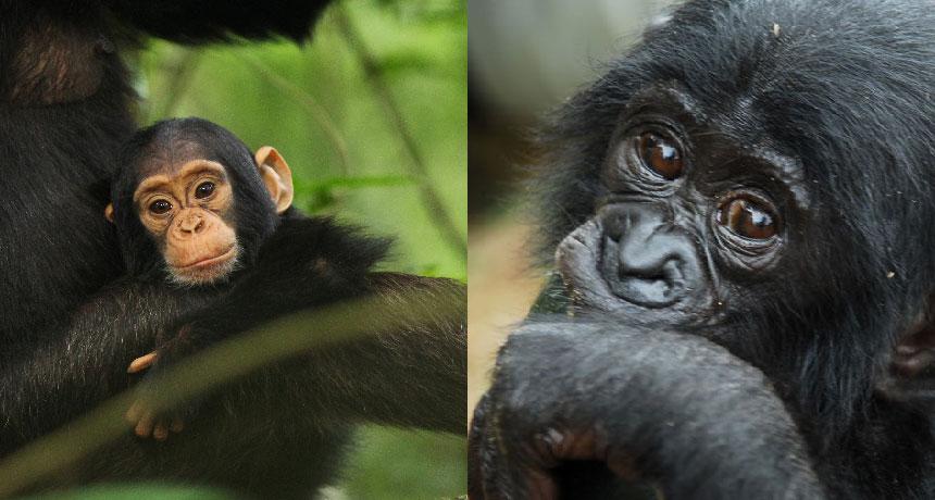 chimpanzee and bonobo