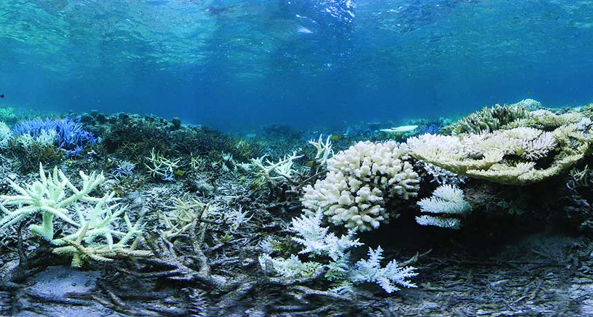 A coral fluoresces purple (left), perhaps as a sunscreen defense for colorless polyps, in a photo taken September 12 of a bleached reef near Okinawa, Japan
