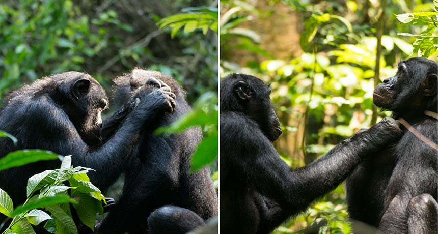 two photos of bonobos grooming a partner
