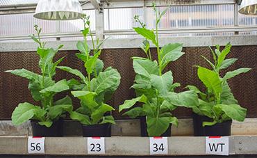 GMO tobacco plants