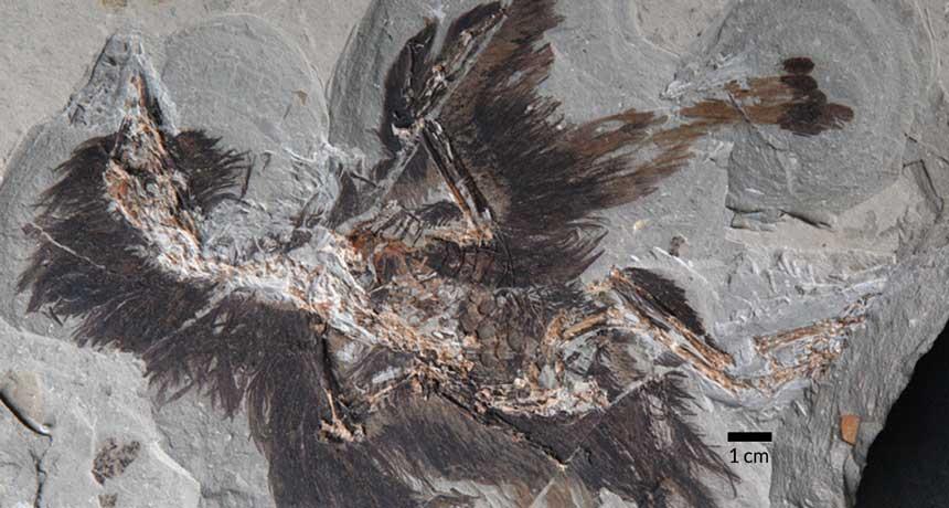 fossil of Eoconfuciusornis