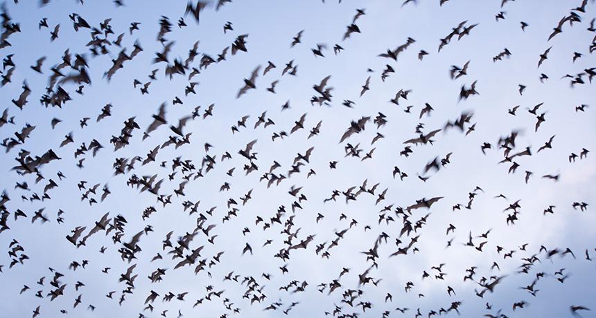 Brazilian free-tailed bats