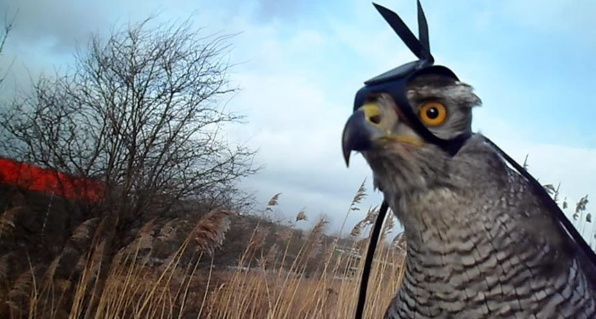 Shinta the northern goshawk