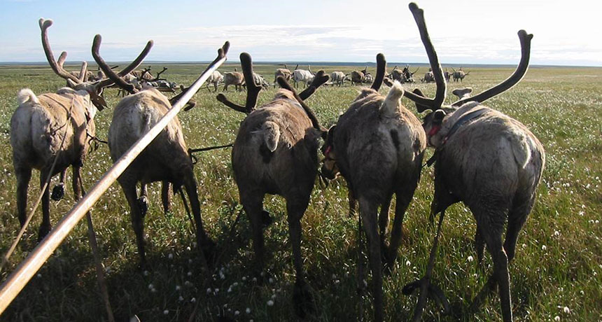 reindeer rumps