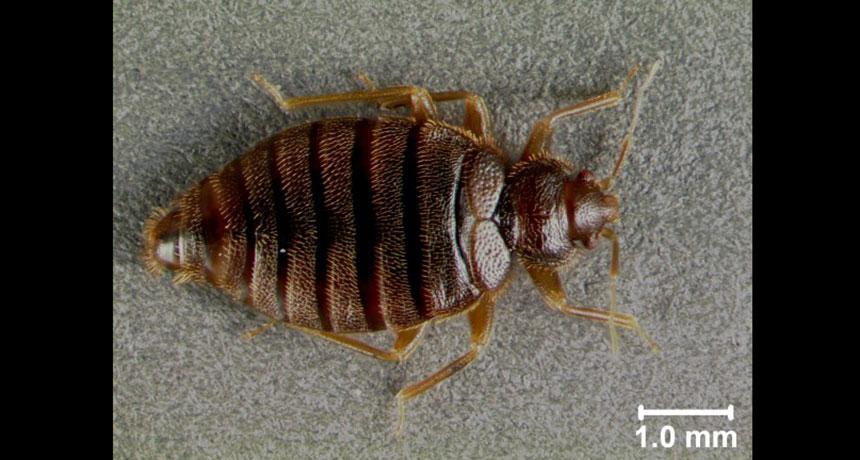 tropical bedbug