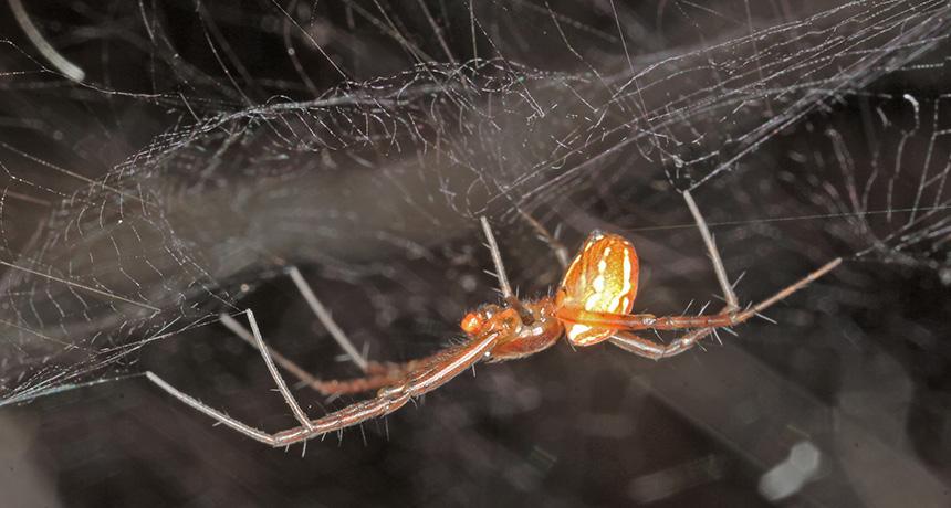 Manogea spider