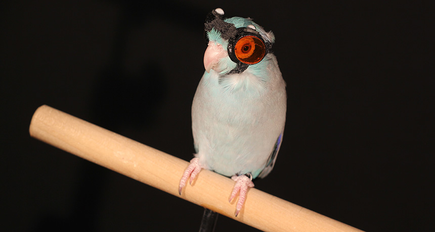 Pacific parrotlet in laser goggles