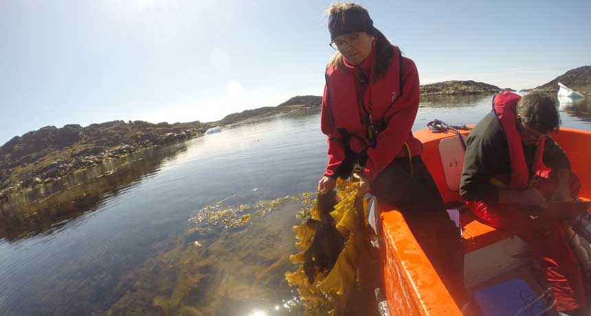 checking arctic kelp