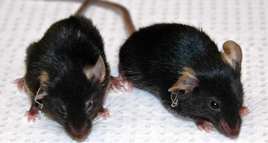 aging mice