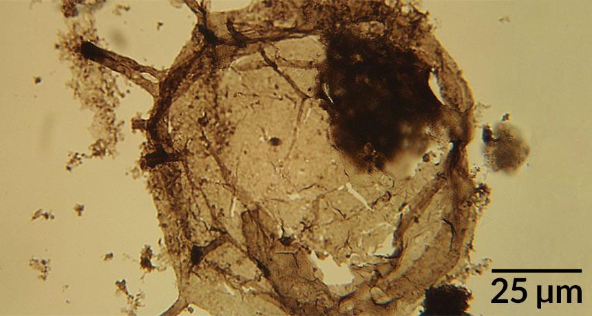 fossil eukaryote