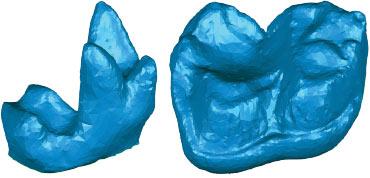 mammal teeth models