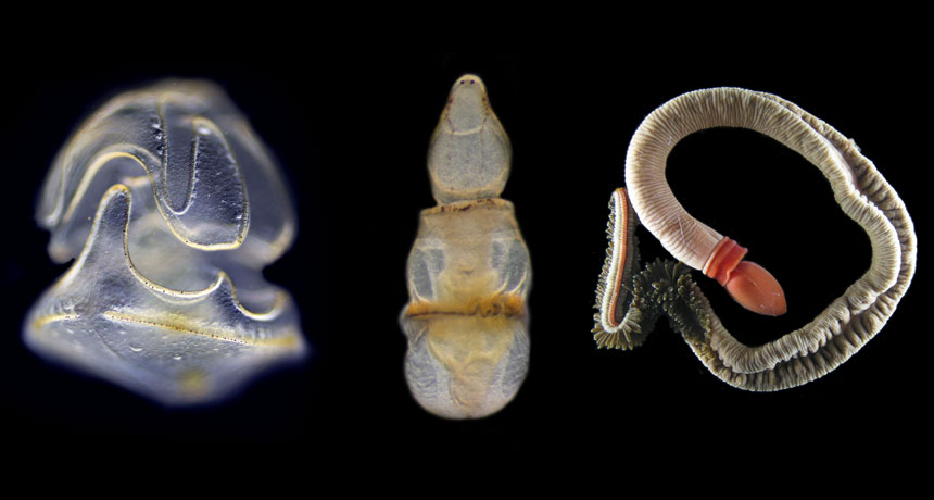 acorn worm larvae