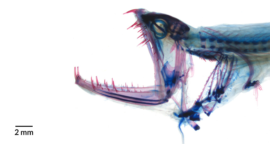 stained image of fish head