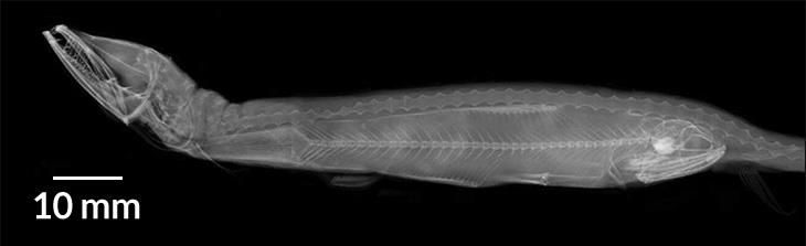 X-ray of dragonfish