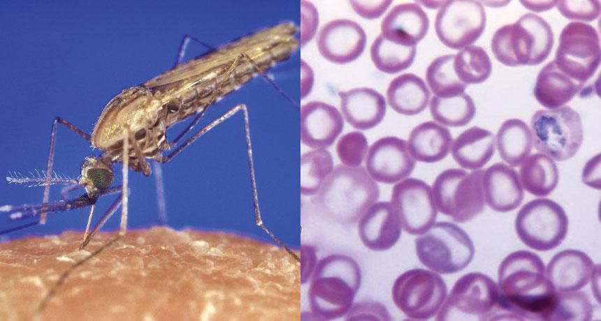 mosquito and malaria parasite