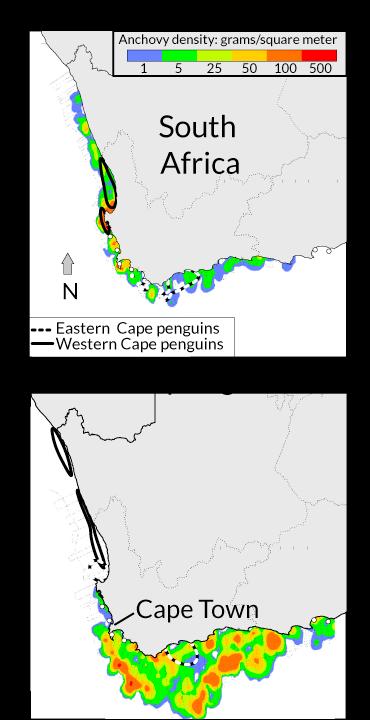 African penguin migration map