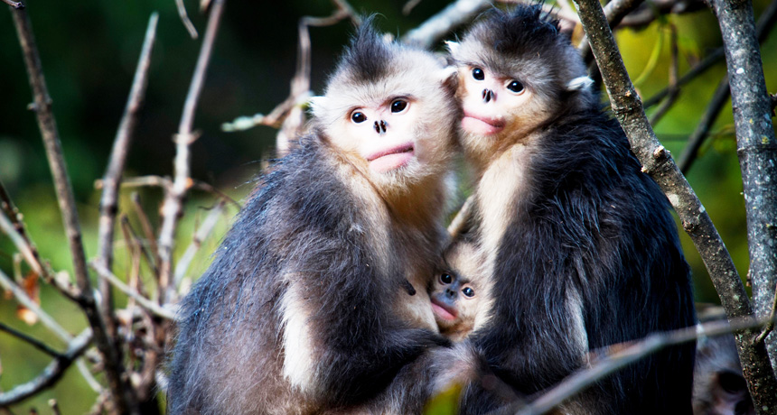 black-and-white snub-nosed monkeys