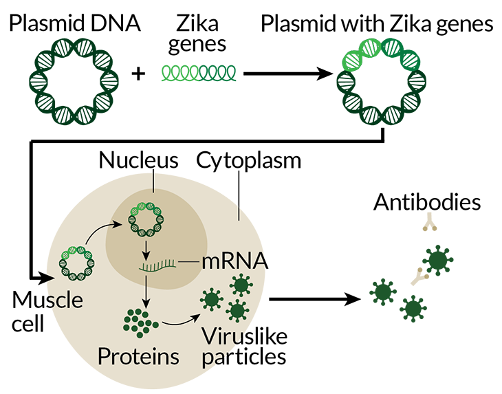 Zika DNA vaccine process