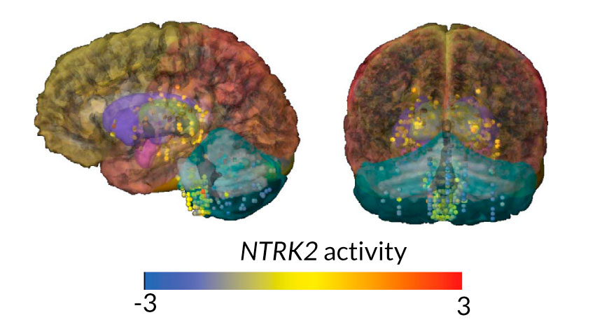 Neandertal brain