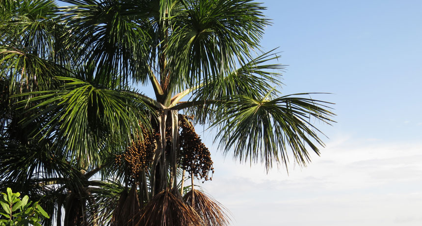 moriche palm tree