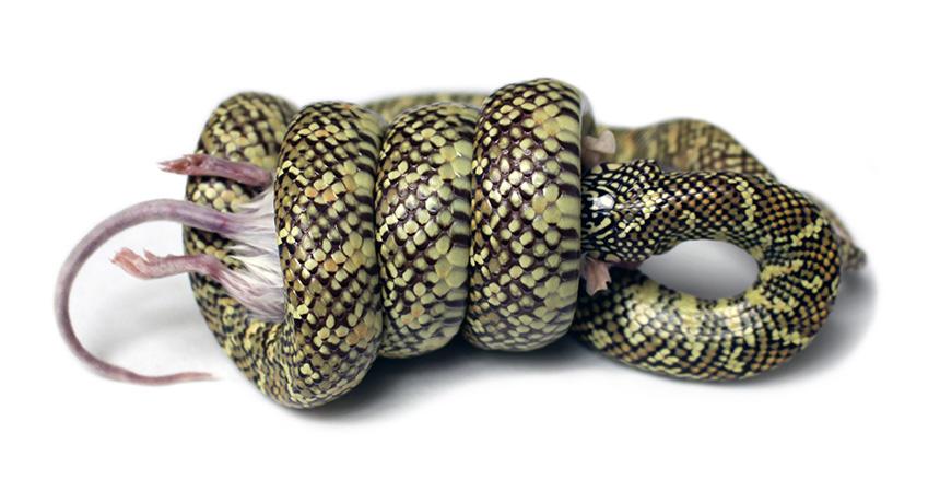 King snake