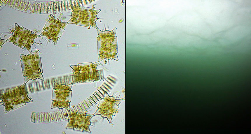 phytoplankton blooms and diatoms