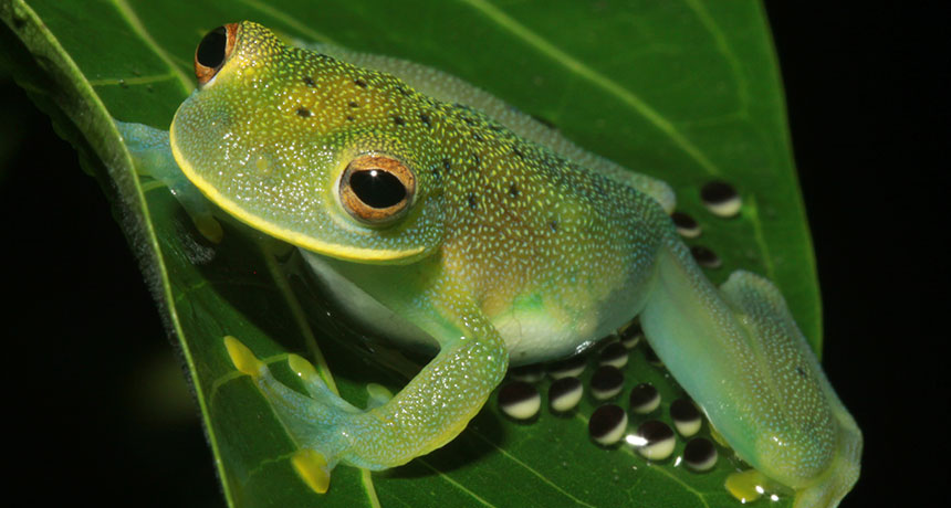 Cochranella granulosa glass frog