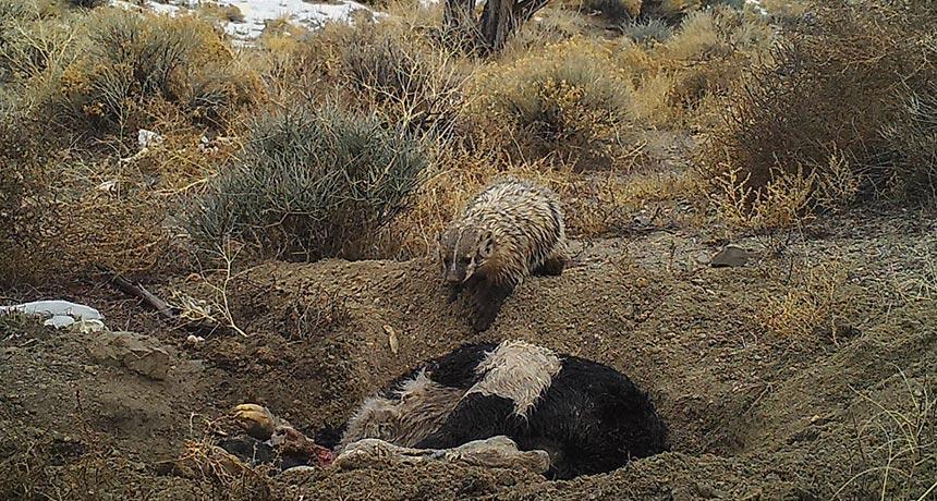 badger burying a calf