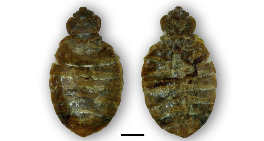 remains of bedbug relative