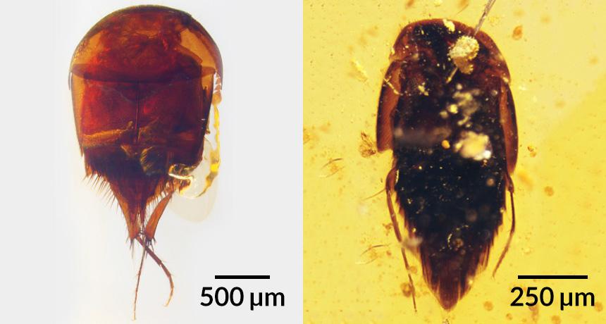 beetle fossils