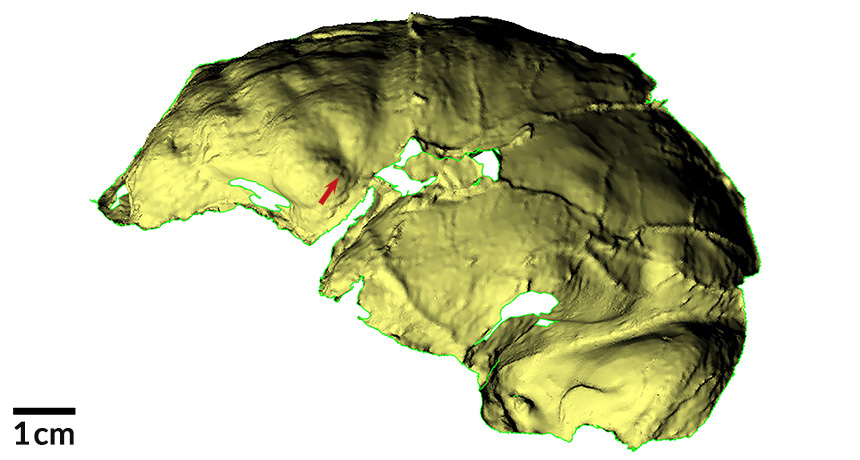 casts of Homo naledi's brain