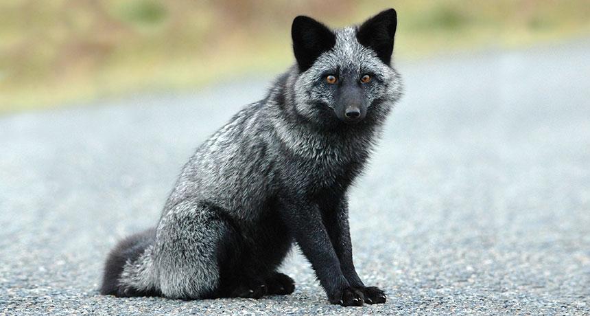 wild silver fox