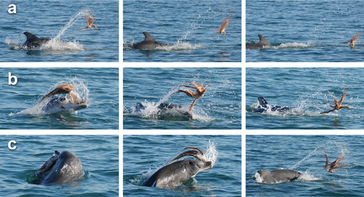 dolphin flings an octopus