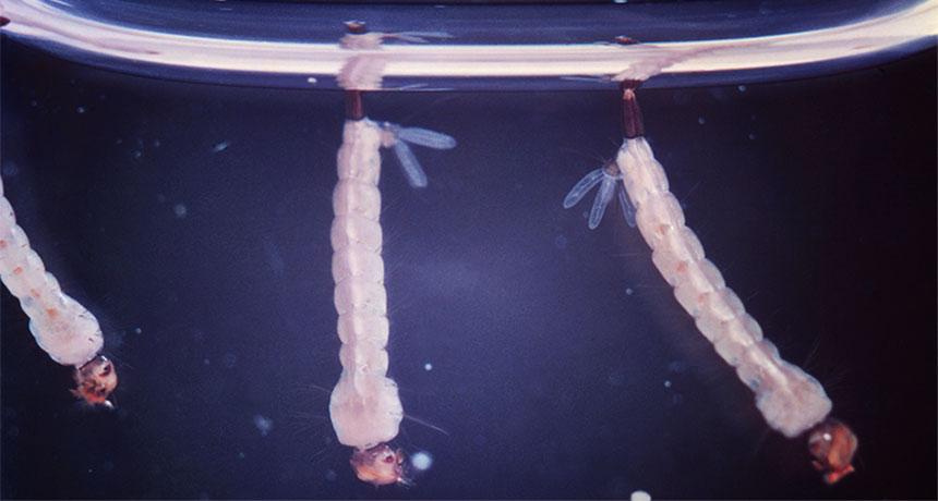 Aedes aegypti larvae