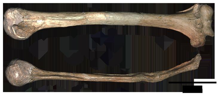 Neandertal bone