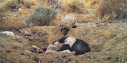 badger burying cow