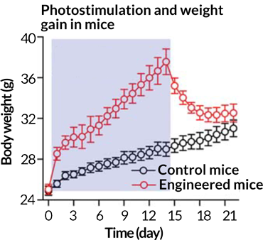 weight gain during stimulation of some zona incerta cells in mice