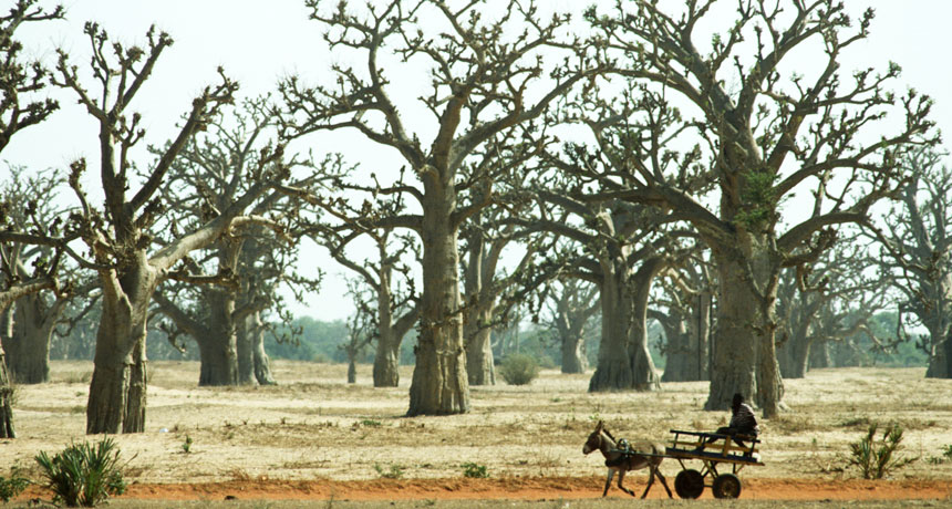 open baobab forest in Senegal