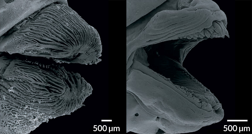 SEM images of fish lips